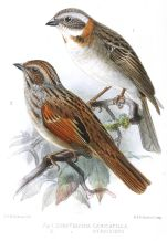 Stripe-capped Sparrow (Rhynchospiza strigiceps) ©Drawing WikiC