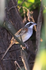 Stripe-headed Sparrow (Peucaea ruficauda) ©WikiC