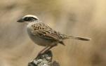 Striped Sparrow (Oriturus superciliosus) ©WikiC
