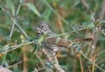 Thick-billed Fox Sparrow (Passerella megarhyncha) ©WikiC