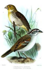 Tumbes Sparrow (Rhynchospiza stolzmanni) ©Drawing WikiC