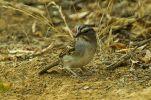 Tumbes Sparrow (Rhynchospiza stolzmanni) ©WikiC