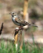 Vesper Sparrow (Pooecetes gramineus) ©WikiC
