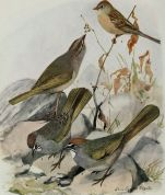 Worthen's Sparrow (Spizella wortheni) Top Right ©Drawing WikiC