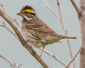 Yellow-browed Bunting (Emberiza chrysophrys) ©WikiC