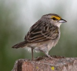 Yellow-browed Sparrow (Ammodramus aurifrons) ©WikiC