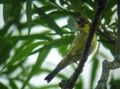 Yellow Bunting (Emberiza sulphurata) ©WikiC