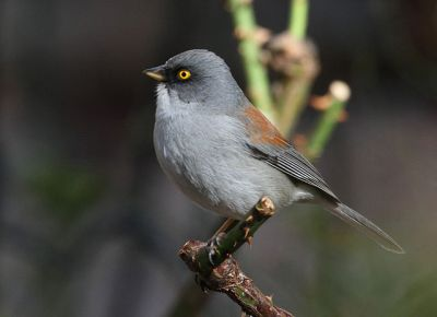 Yellow-eyed Junco (Junco phaeonotus) ©WikiC