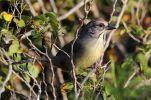 Zapata Sparrow (Torreornis inexpectata) ©WikiC