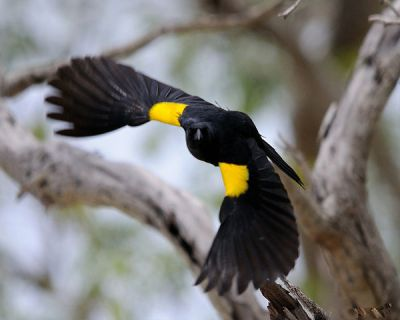 Yellow-shouldered Blackbird (Agelaius xanthomus) ©WikiC