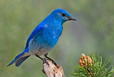 PAS-Turd Mountain Bluebird (Sialia currucoides) ©Elaine R Wilson WikiC