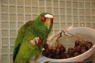 White-fronted Amazon (Amazona albifrons) named Eugy Eating Grapes ©WikiC