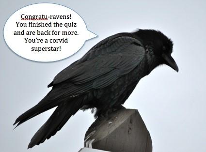Raven ©Corvidresearch