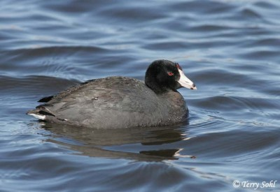 rican Coot (Fulica americana) © SDbirds-Terry Sohl