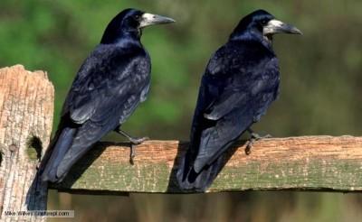 Rook (Corvus frugilegus) pair perching on wooden fence ©BBCI Mike Wilkes