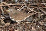 Sooty Fox Sparrow (Passerella unalaschcensis) ©WikiC