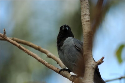 Black-faced Tanager (Schistochlamys melanopis) at National Aviary by Dan