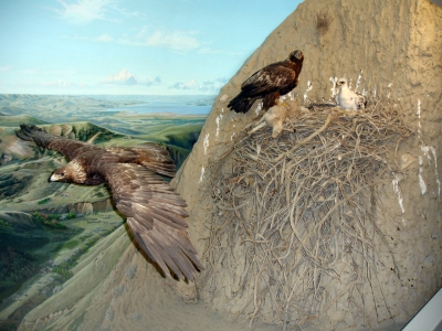 Golden Eagle (Aquila chrysaetos) Nest Scene Reconstitution ©WikiC