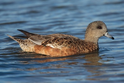 AmericanWigeon.female