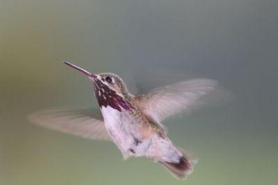 Calliope Hummingbird (Stellula calliope) ©Wiki