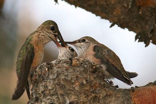 Calliope Hummingbird (Stellula calliope) Female feeding insects to chicks ©WikiC