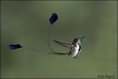 Marvelous Spatuletail (Loddigesia mirabilis) ©©Dubi Shapiro