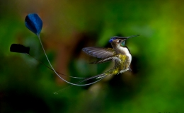 Peru's Marvellous Hummingbird – Again