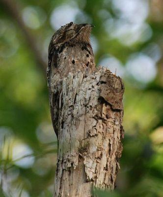Common Potoo (Nyctibius griseus) ©WikiC