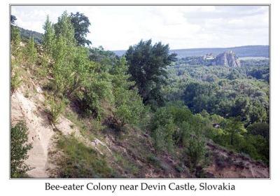 European Bee-eater (Merops apiaster) Bee-eater Colony near Devin Castle Slovakia by Ian
