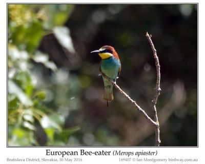 European Bee-eater (Merops apiaster) by Ian