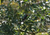 Flame-crested Tanager (Tachyphonus cristatus) ©WikiC
