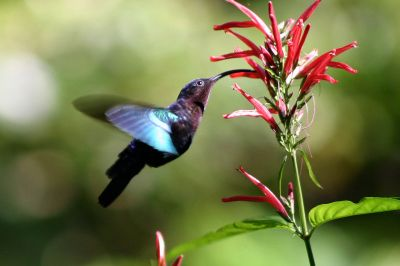 Purple-throated Hummingbird (Carib) ©WikiC