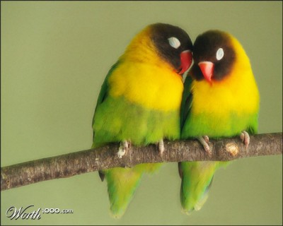 Black-cheeked Lovebird (Agapornis nigrigenis) Sleeping ©Worth 1000