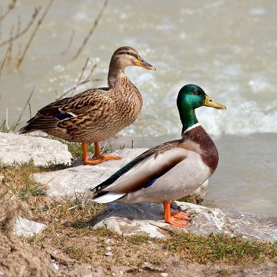 Mallard.male-and-female-shore
