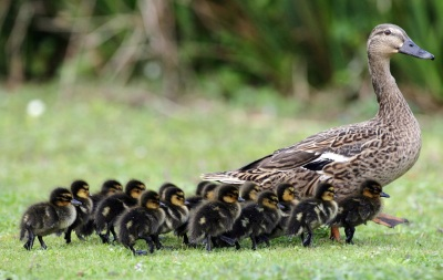 Mallard mom with ducklings