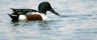 Northern Shoveler Male Close Up