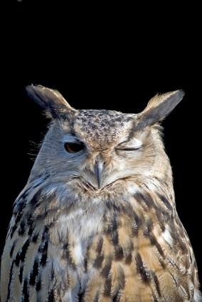 Owl Winking ©Flickr Darren D
