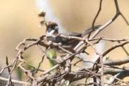 Bay-crowned Brushfinch (Atlapetes seebohmi) ©WikiC