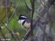 Black-capped Sparrow (Arremon abeillei)) ©Jorge Montejo