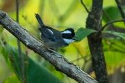 Black-capped Sparrow (Arremon abeillei)) ©WikiC