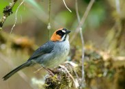 Black-spectacled Brushfinch (Atlapetes melanopsis) ©Neotropical Carlos Calle