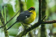 Bolivian Brushfinch (Atlapetes rufinucha) ©WikiC
