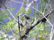Cabanis's Ground Sparrow (Melozone cabanisi) ©flickr Don Falkner