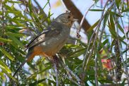 California Towhee (Melozone crissalis) ©WikiC