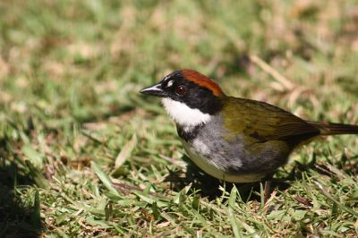 Chestnut-capped Brushfinch (Arremon brunneinucha) ©WikiC