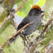 Cuzco Brushfinch (Atlapetes canigenis) ©WikiC