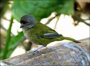 Dusky Bush Tanager (Chlorospingus semifuscus) by Ian