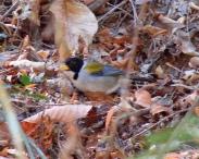 Golden-winged Sparrow (Arremon schlegeli) ©Flickr barlovetomagico