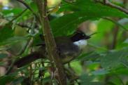 Green-striped Brushfinch (Arremon virenticeps) ©Bryant Olsen