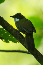 Green-striped Brushfinch (Arremon virenticeps) ©WikiC